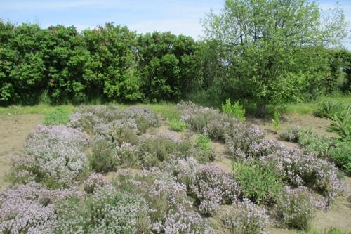 Timian i haven på Bornholm - 500x333